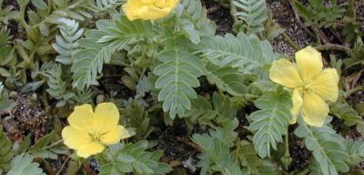 Přírodní viagra – kotvičník, zkuste si ho vypěstovat doma